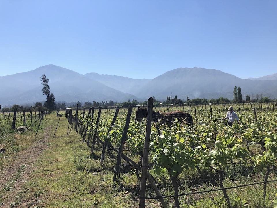 Maipo Valley vineyard